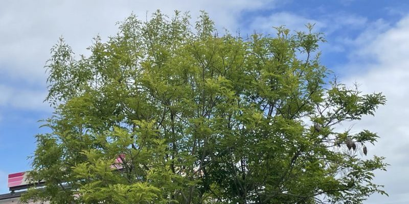 緑風 シマトネリコ